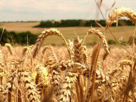modern wheat is making you sick