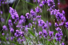 Uses lavender essential oil