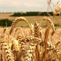 modern wheat is making you sick